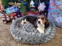 Bagel Hound  Puppies for sale in Troy, MO, USA. price: NA