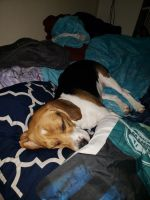 Bagel Hound  Puppies for sale in Vancouver, WA 98682, USA. price: NA
