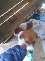 Bagel Hound  Puppies for sale in 3268 Henson Rd, Red Boiling Springs, TN 37150, USA. price: NA