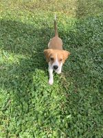 Bagel Hound  Puppies for sale in Miami, FL 33177, USA. price: NA
