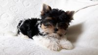 Bakharwal Dog Puppies for sale in Texas City, TX, USA. price: NA