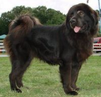 bakharwal dog dog