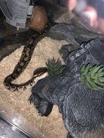 Ball Python Reptiles for sale in Sacramento, CA, USA. price: NA