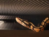 Ball Python Reptiles for sale in Quincy, MA, USA. price: NA