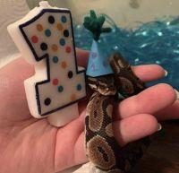 Ball Python Reptiles for sale in Houston, TX, USA. price: NA