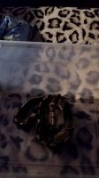 Ball Python Reptiles for sale in San Diego, CA, USA. price: NA