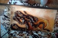 Ball Python Reptiles for sale in Shawnee, KS, USA. price: NA