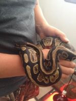 Ball Python Reptiles for sale in Burlington, WI 53105, USA. price: NA