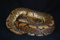 Ball Python Reptiles for sale in Kissimmee, FL, USA. price: NA