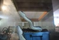 Ball Python Reptiles for sale in El Paso, TX, USA. price: NA