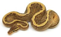 Ball Python Reptiles for sale in Baton Rouge, LA, USA. price: NA