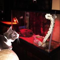 Ball Python Reptiles for sale in Burlington, CT, USA. price: NA