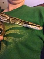 Ball Python Reptiles for sale in Moreno Valley, CA, USA. price: NA