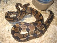 Ball Python Reptiles for sale in Laguna Hills, CA, USA. price: NA