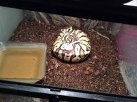 Ball Python Reptiles for sale in Elkhorn, WI 53121, USA. price: NA