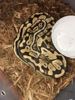 Ball Python Reptiles for sale in Staunton, VA 24401, USA. price: NA