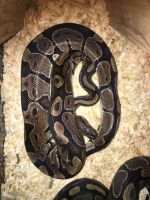 Ball Python Reptiles for sale in Exeter, NH 03833, USA. price: NA