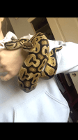 Ball Python Reptiles for sale in Avondale, AZ, USA. price: NA
