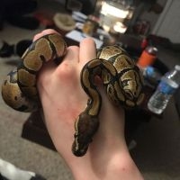 Ball Python Reptiles for sale in Fresno, CA 93720, USA. price: NA