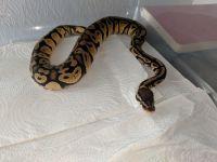 Ball Python Reptiles for sale in Baton Rouge, LA, USA. price: NA
