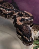 Ball Python Reptiles for sale in Ocala, FL, USA. price: NA