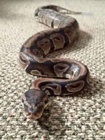 Ball Python Reptiles for sale in Medical Springs, OR 97814, USA. price: NA