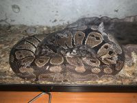 Ball Python Reptiles for sale in Los Angeles, CA 91325, USA. price: NA