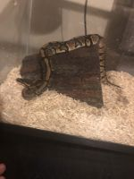 Ball Python Reptiles for sale in Knoxville, TN 37919, USA. price: NA