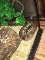 Ball Python Reptiles for sale in Leesville, LA 71459, USA. price: NA