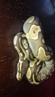 Ball Python Reptiles for sale in Azalea Park, FL 32807, USA. price: NA