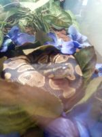 Ball Python Reptiles for sale in Springtown, TX 76082, USA. price: NA