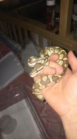 Ball Python Reptiles for sale in 545 92nd St, Brooklyn, NY 11209, USA. price: NA