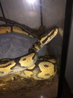 Ball Python Reptiles for sale in Greenwood, IN, USA. price: NA