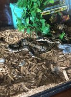 Ball Python Reptiles for sale in Statesboro, GA, USA. price: NA