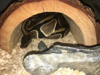 Ball Python Reptiles for sale in Thousand Oaks, CA, USA. price: NA
