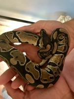 Ball Python Reptiles for sale in Tarpon Springs, FL, USA. price: NA