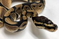 Ball Python Reptiles for sale in Topeka, KS, USA. price: NA