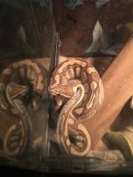 Ball Python Reptiles for sale in 738 Cresent Dr, DeSoto, TX 75115, USA. price: NA