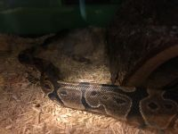 Ball Python Reptiles for sale in Aberdeen, MD, USA. price: NA
