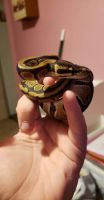 Ball Python Reptiles for sale in Muncie, IN, USA. price: NA