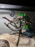 Ball Python Reptiles for sale in New Ulm, MN 56073, USA. price: NA