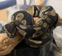 Ball Python Reptiles for sale in 13002 Southern Creek Dr, Pearland, TX 77584, USA. price: NA