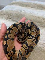 Ball Python Reptiles for sale in Warwick, RI, USA. price: NA