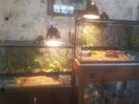 Ball Python Reptiles for sale in Colorado Springs, CO, USA. price: NA