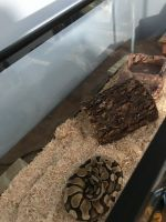 Ball Python Reptiles for sale in Ellenwood, GA, USA. price: NA