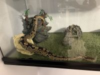 Ball Python Reptiles for sale in Henderson, NV, USA. price: NA