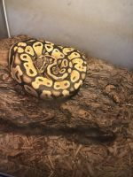 Ball Python Reptiles for sale in Burbank, CA, USA. price: NA