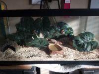 Ball Python Reptiles for sale in Tarpon Run, Cove, TX 77523, USA. price: NA