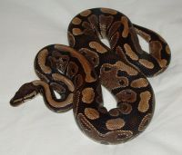 Ball Python Reptiles for sale in Oceanside, CA, USA. price: NA