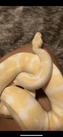 Ball Python Reptiles for sale in Austin, TX, USA. price: NA
